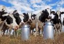 Криза в млечния сектор, кравите в Родопите намаляха със 70%